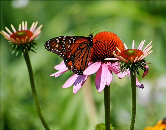Migrating Monarch – Photography by Barby Almy