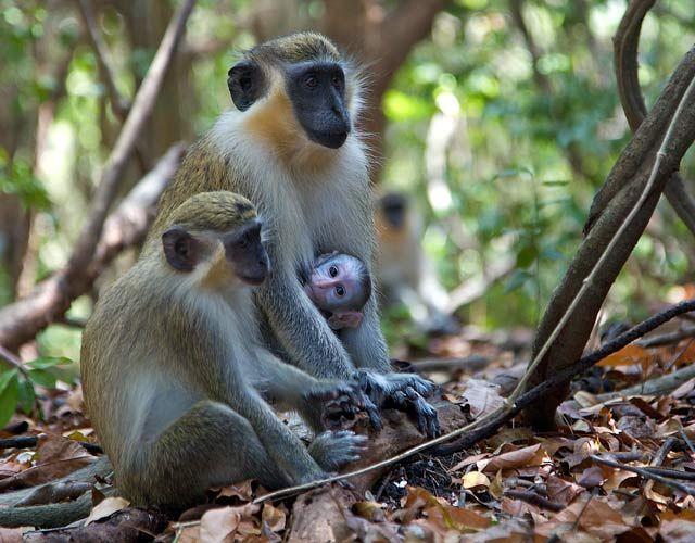 Green Monkey Family, Brazil by Barby Almy
