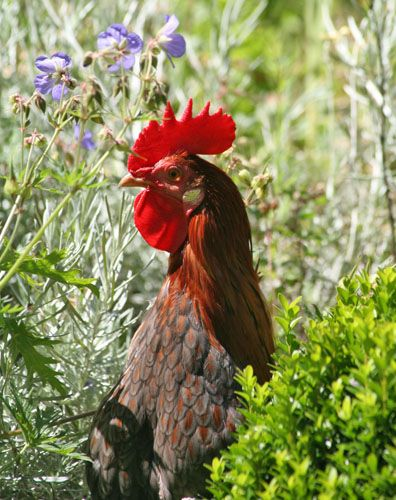 New Zealand Rooster by Barby Almy