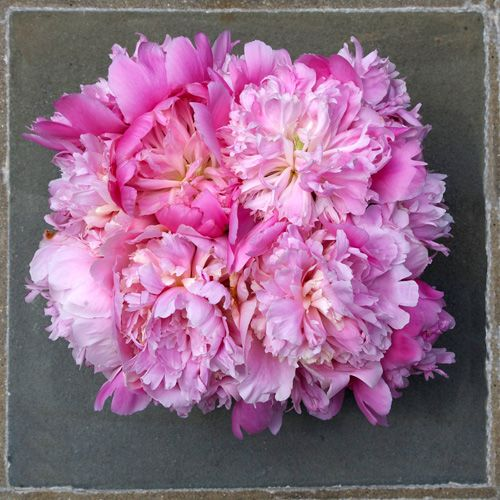 Pink Peonies – Photography by Barby Almy