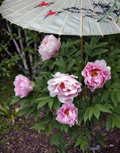 Pink Tree Peony – Photography by Barby Almy