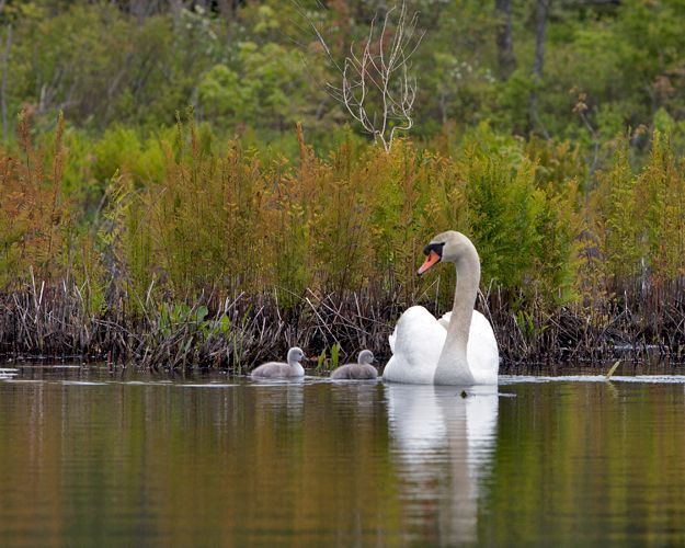 Baby Swans on Beaver Pond, Beverly Farms – Photography by Barby Almy