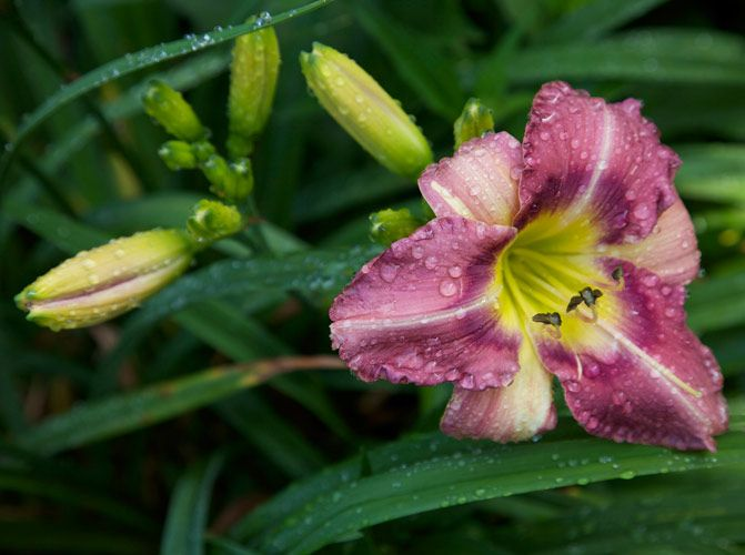 TSH Day Lily – Photography by Barby Almy