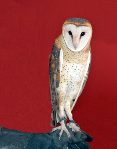 http://www.beachstreetstudios.com/artists/barby-almy/nature/barn-owl-photography-by-barby-almy/
