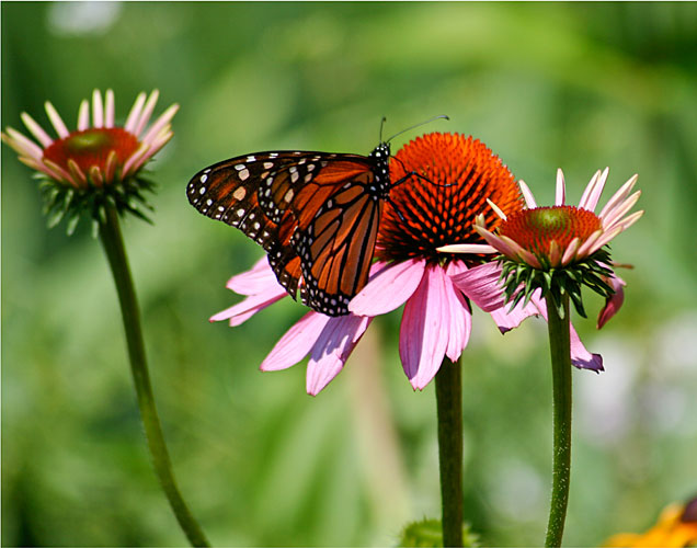 http://www.beachstreetstudios.com/artists/barby-almy/nature/migrating-monarch-photography-by-barby-almy/