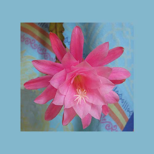 http://www.beachstreetstudios.com/artists/barby-almy/botanical/cactus-flower-photograph-by-barby-almy/