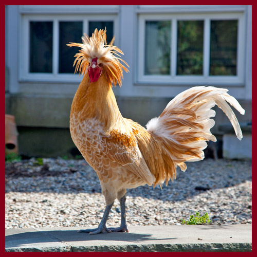 http://www.beachstreetstudios.com/artists/barby-almy/nature/rooster-with-attitude-photography-by-barby-almy/