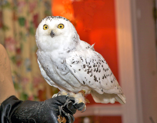 http://www.beachstreetstudios.com/artists/barby-almy/nature/snowy-owl-photography-by-barby-almy/