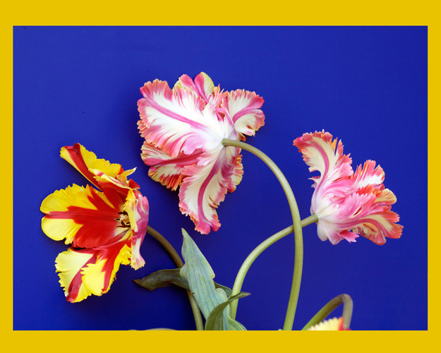 http://www.beachstreetstudios.com/artists/barby-almy/botanical/3-tulips-on-blue-photography-by-barby-almy/